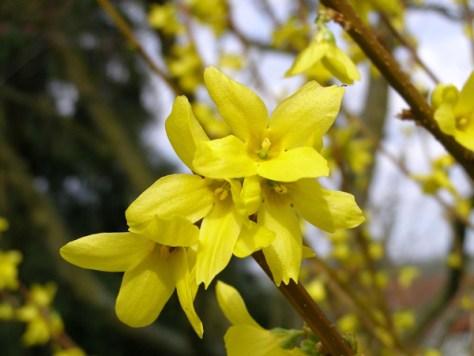 Forsythien sorgen mit ihren gelben Blüten im April für Farbtupfer am Wegesrand. Foto: pixelio/Laufersweiler