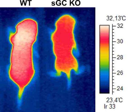 Wärmebilder:         Die Maus (links) weist eine Oberflächentemperatur von bis zu 32 Grad Celsius auf. Sie verfügt über zahlreiche braune Fettzellen, die Nahrungsenergie verbrennen und in Wärme verwandeln. Bei dem Tier rechts wurde ein Enzym ausgeschaltet, das den Botenstoff cGMP herstellt, der wichtig für die Ausbildung und Funktion von braunem Fettgewebe ist. Die Oberflächentemperatur der rechten Maus ist deshalb deutlich niedriger. (c) Foto: Linda S. Hoffmann/Uni Bonn          Wärmebilder:         Die Maus (links) weist eine Oberflächentemperatur von bis zu 32 Grad Celsius auf. Sie verfügt über zahlreiche braune Fettzellen, die Nahrungsenergie verbrennen und in Wärme verwandeln. Bei dem Tier rechts wurde ein Enzym ausgeschaltet, das den Botenstoff cGMP herstellt, der wichtig für die Ausbildung und Funktion von braunem Fettgewebe ist. Die Oberflächentemperatur der rechten Maus ist deshalb deutlich niedriger. (c) Foto: Linda S. Hoffmann/Uni Bonn
