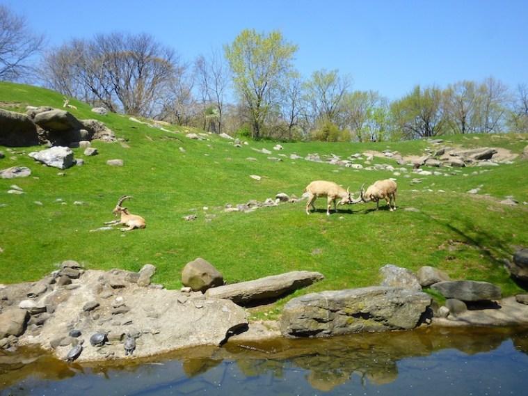 bronx zoo goats 2