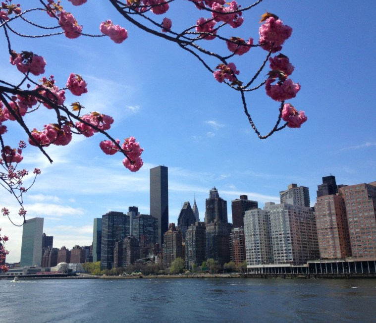 cherry-blossoms-manhattan