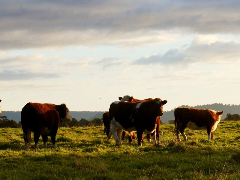 NFU Defends Family Beef Producers Against Meatpackers' Aggressive Market Control
