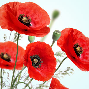 peppered poppies scent