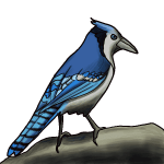How to draw a blue jay step by step