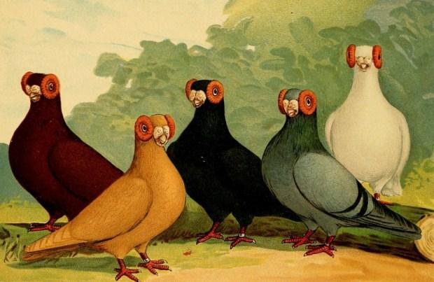 Barb Pigeon