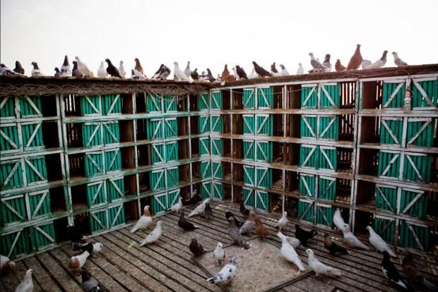 My Pigeon Farm