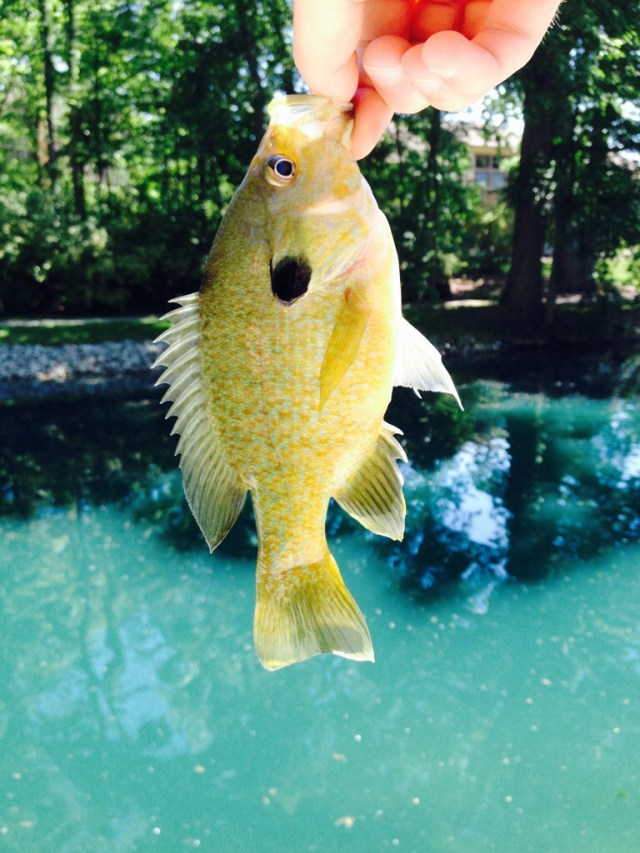 Bluegill, wasn't what I was finishing for but i'll take it