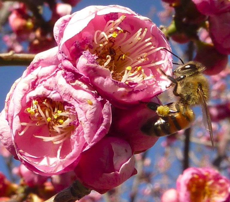 Plum Blossom and Bee