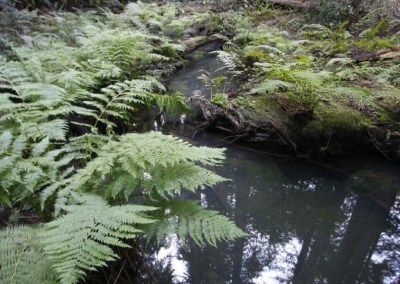 Ferns and creek