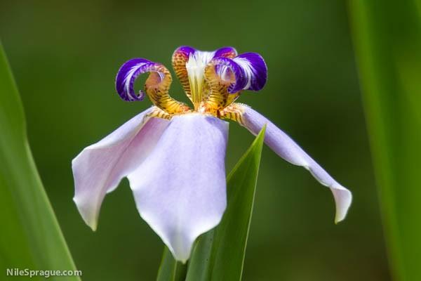 Iris flower, Santa Luz, La Dalia, Nicaragua