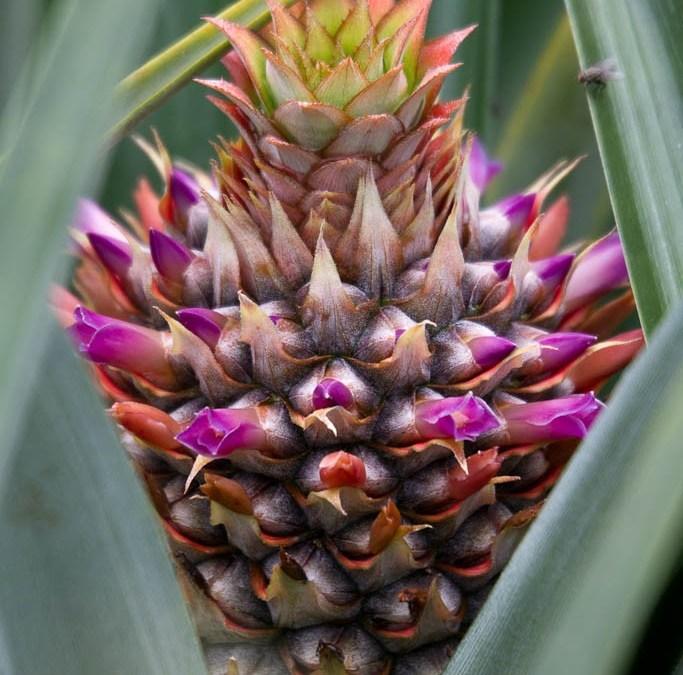 Flor de Piña, Nueva Guinea, Nicaragua