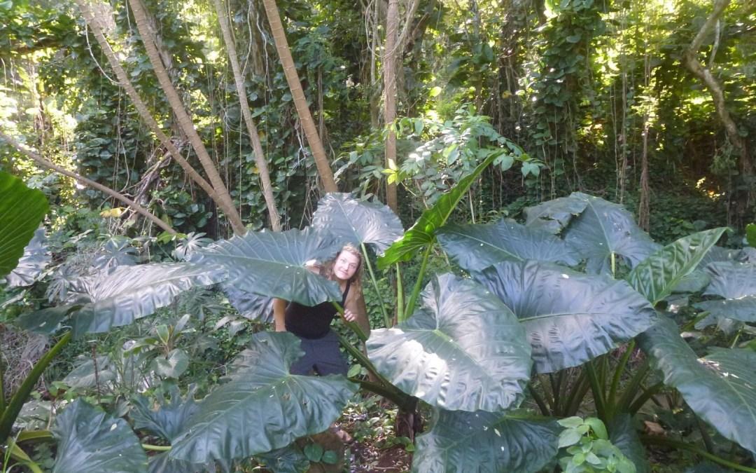 Nile with some really big leaves, Moloaa, Kauai, USA