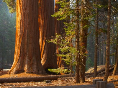 Majestic sequoias