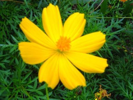 Cosmos.. Bunga Kenikir Yang Mencerahkan Hari (1/4)