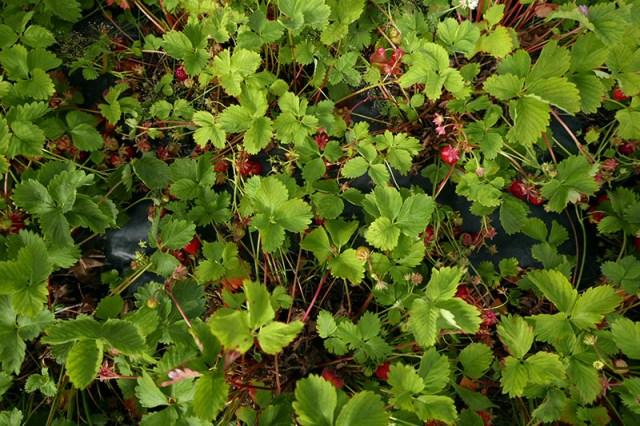 smallstrawberries