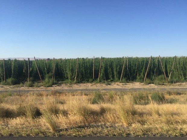 washington hops