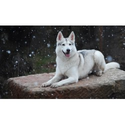 Small Crop Of Northern Inuit Dog