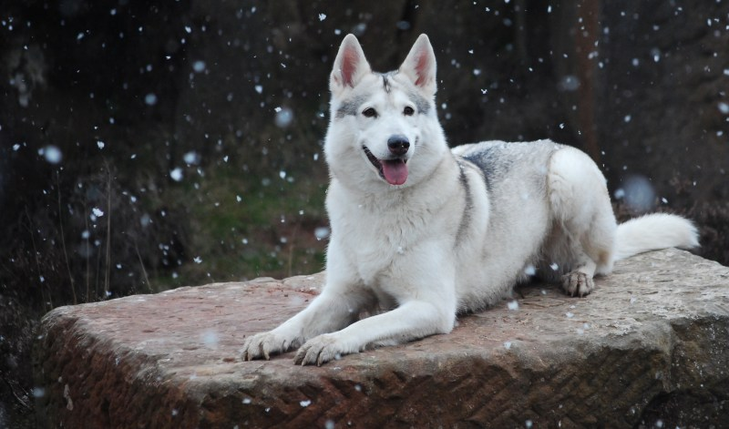 Large Of Northern Inuit Dog