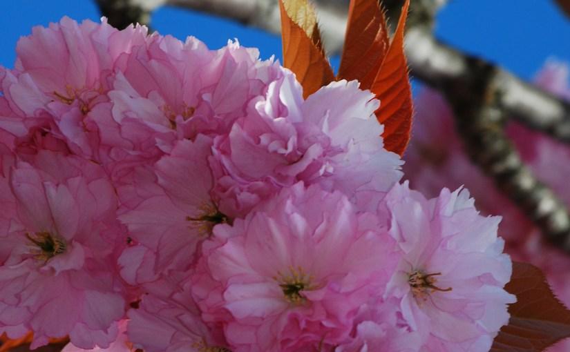 sakura-blossoms