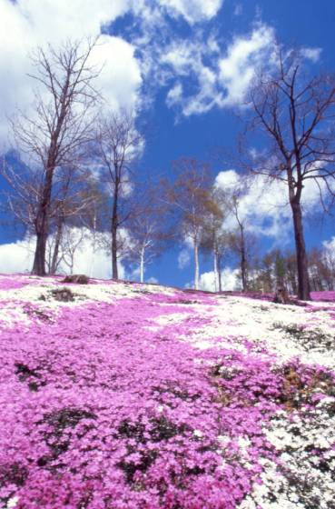 大空町ひがしもこと芝桜公園の芝桜。2005年撮影