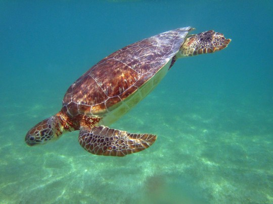 Things to do in Mexico's Riveria Maya with Kids - Swimming with Sea Turtles at Akumal Beach