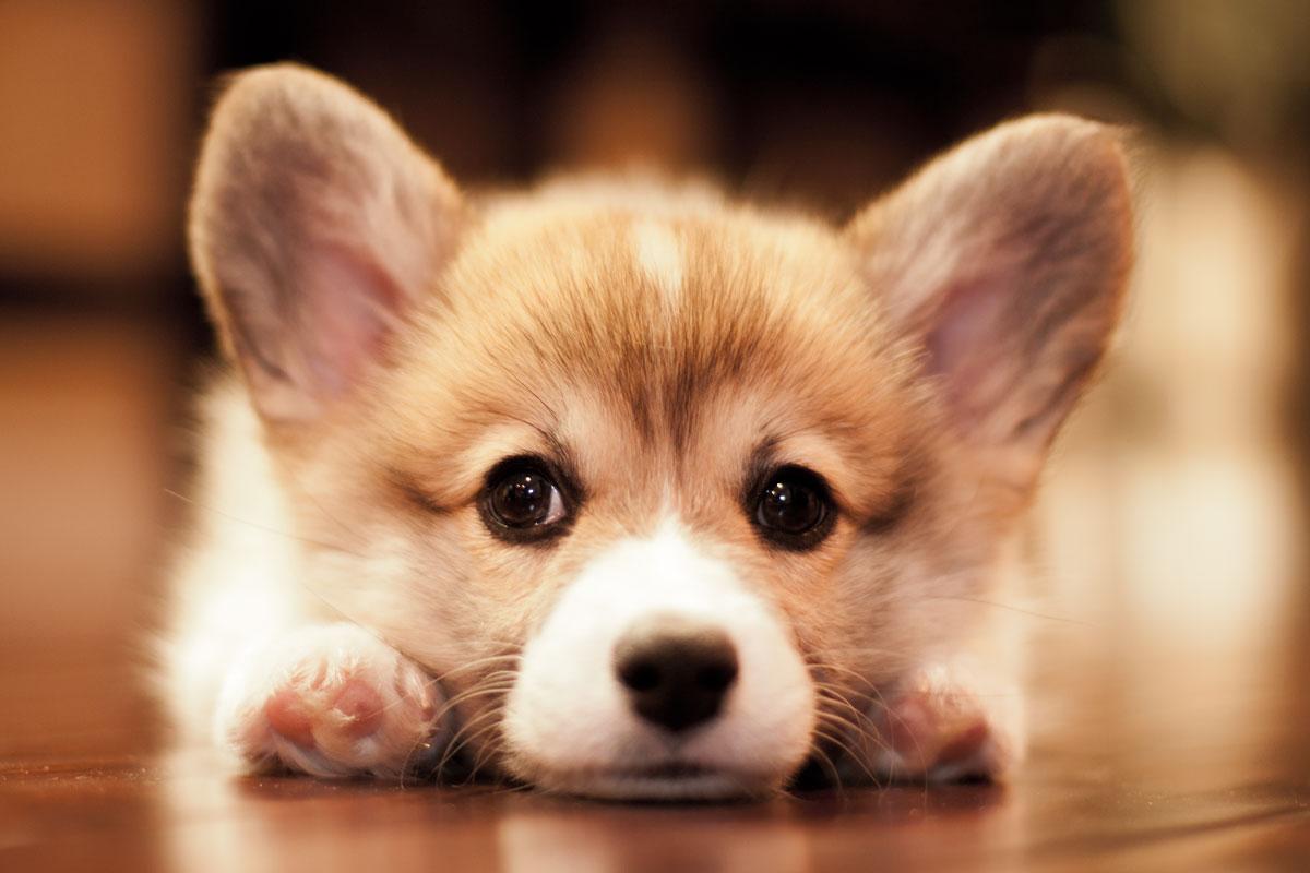 Cordial Hearts Pembroke Welsh Corgi Breeder Puppies Sale Corgi Puppy Images Corgi Puppy Pics bark post Cute Corgi Puppies