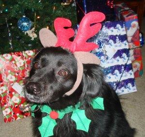 chewey-as-a-reindeer