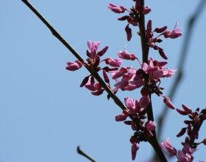 redbuds-in-spring