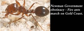 Newman Government obstinacy – Fire ants march on Gold Coast: @Qldaah #qldpol