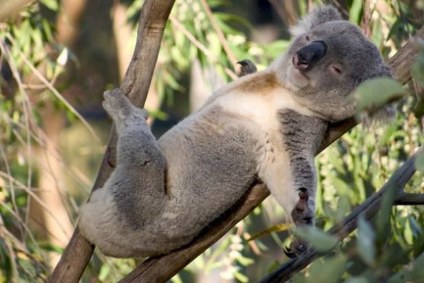 枝木とコアラ