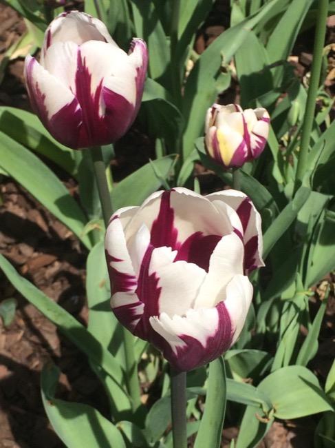 ntb-tulip-inspired-lotd-dark-skin1921 copy