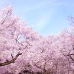 大野寺しだれ桜2017の開花状況や見頃は?ライトアップや口コミも!