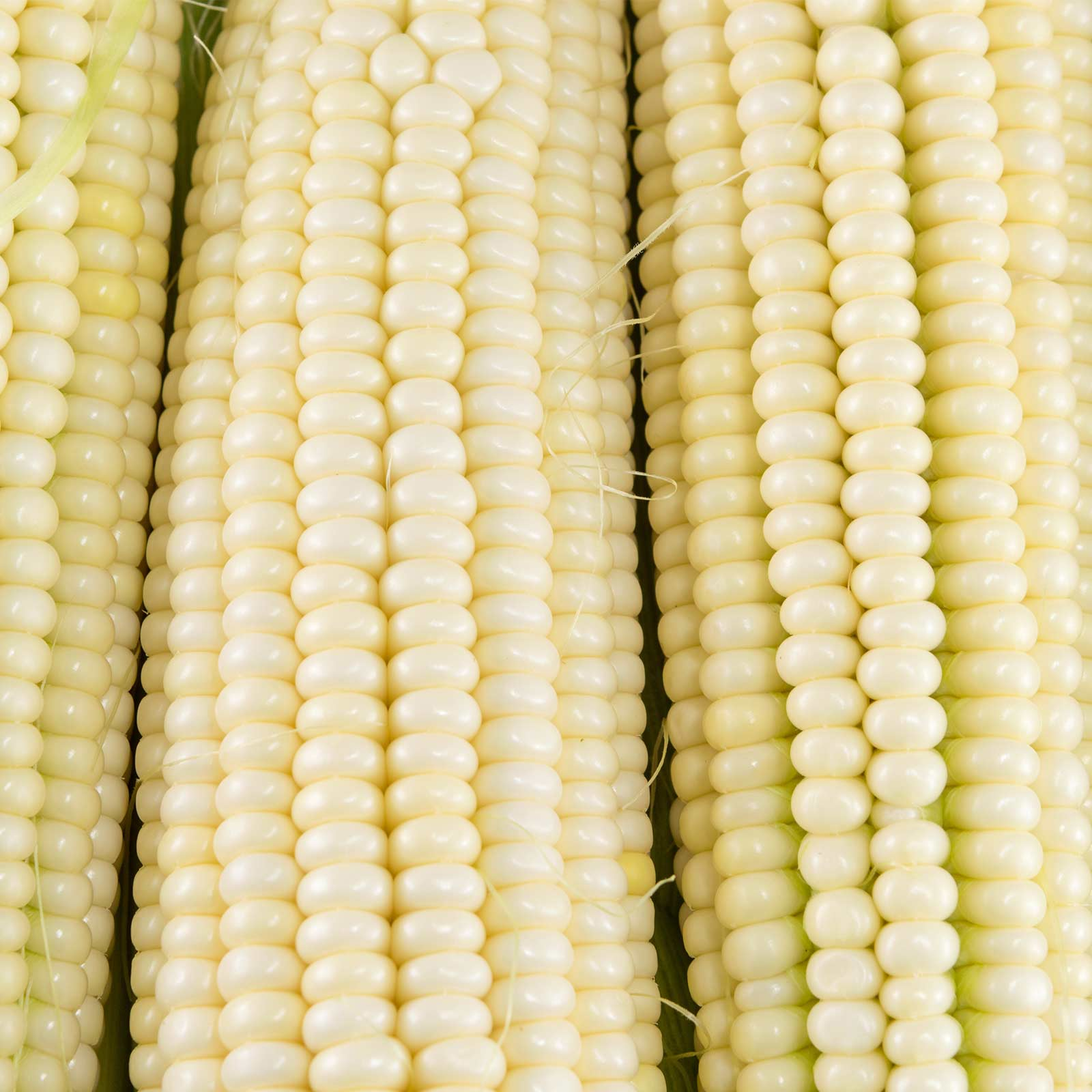 Luxurious Silver Queen Hybrid Corn Garden Seed Lb Wide Range Most Corn One Its Eatingquality Few Varieties Consumersask America Because houzz 01 Silver Queen Corn