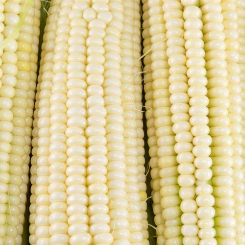Medium Crop Of Silver Queen Corn