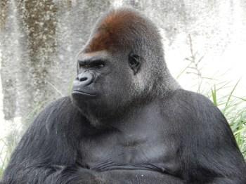 gorillapd