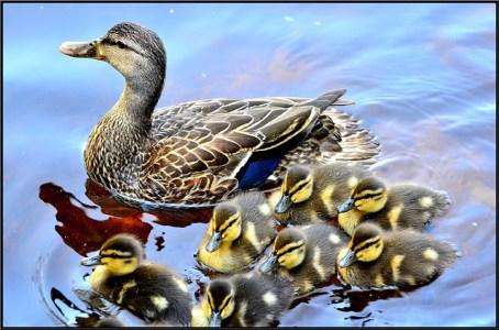 duck-715568_640
