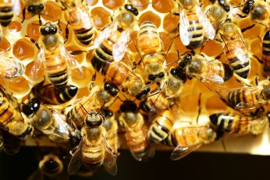 honey-bees-345620_1280
