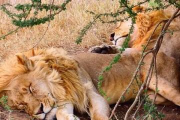 Leoni in Africa