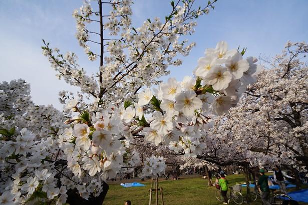 Cerisier Japon