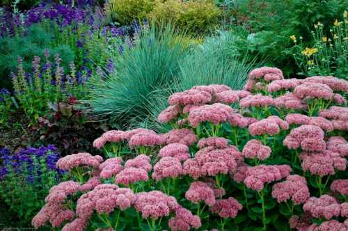 Best Sedum Paired Up Blue Oat Grass E Finale North Country Reflections Blue Oat Grass Winter Care Blue Oat Grass S