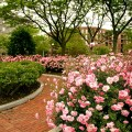 Pink Roses at Christopher Columbus Park - June 2012 by Matt Conti