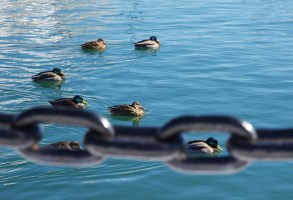 Ducks in chain on the harbor (Photo by Matt Conti)