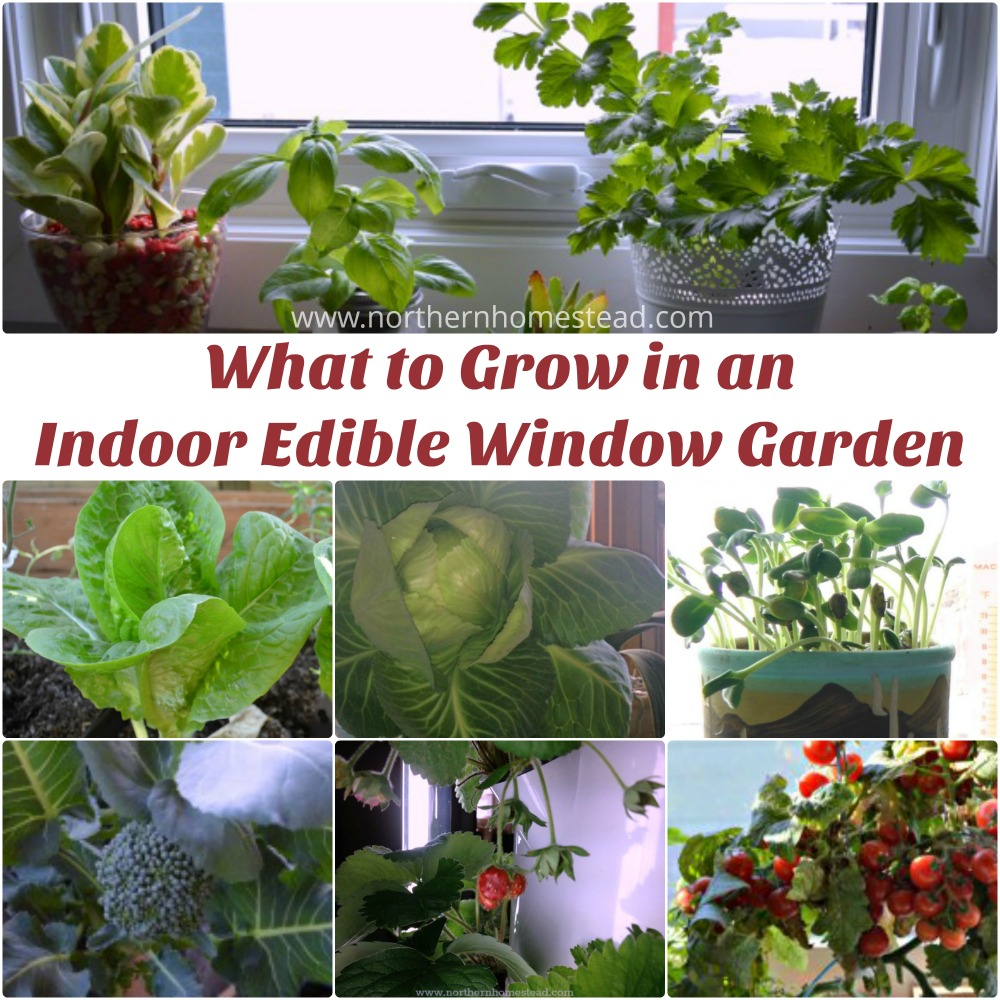 Sunshiny An Edible Window Garden Norrn Homestead You Grow Cilantro S Growing Cilantro Plant S An Edible Window Over Years We Have Grown What To Grow What To Grow houzz-03 Growing Cilantro Indoors