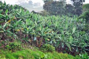 Cómo obtener bioenergía de los residuos del plátano