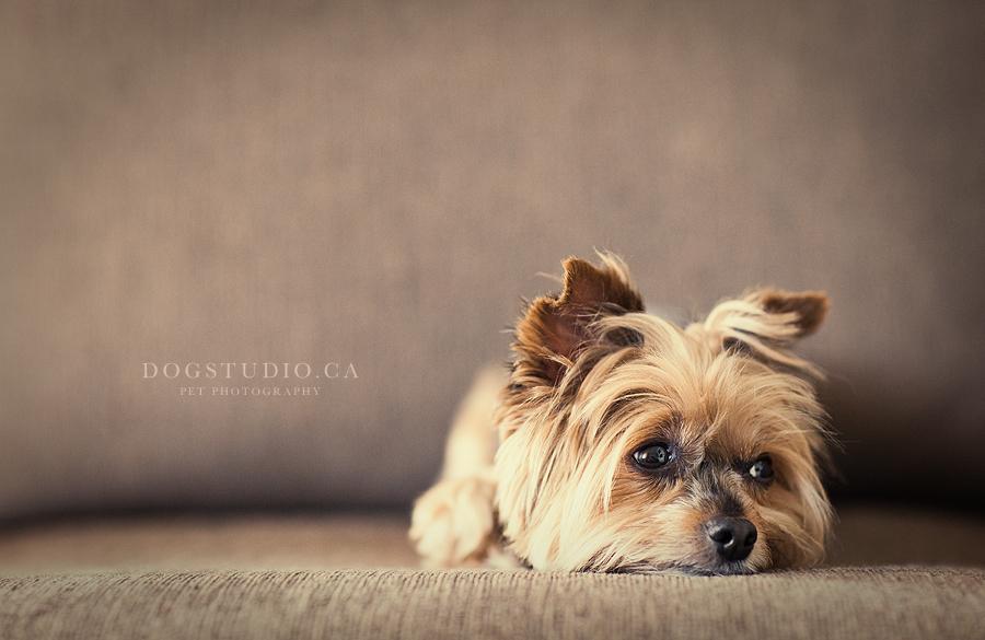 Los peligros del uso de corticoides en los perros