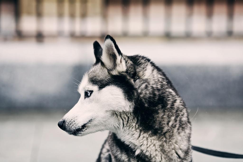 Enfermedades hereditarias del Husky Siberiano