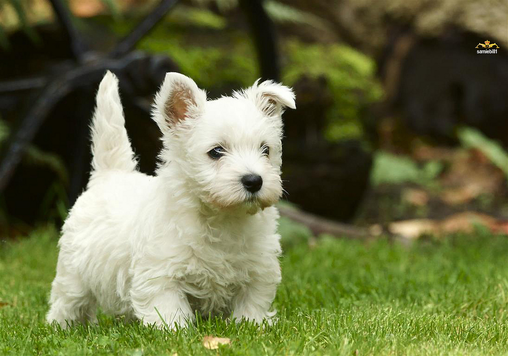 Enfermedades hereditarias del West Highland White Terrier