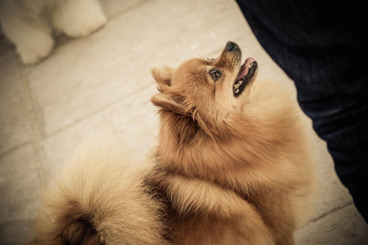 Castración versus vasectomía y ligadura de trompas en los perros y en las perras