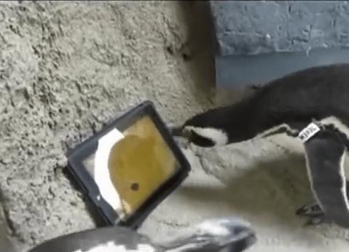 #Curiosidades ¡ Mira como estos pingüinos juegan con un Ipad !