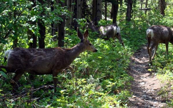 14 - Deer