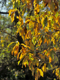 chinquapin oak fall color